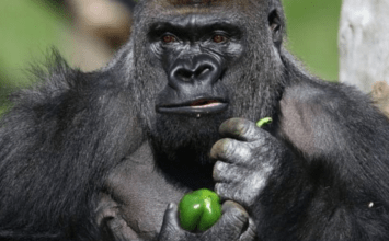 London Zoo's escaped gorilla drank undiluted blackcurrant squash after freedom, says report